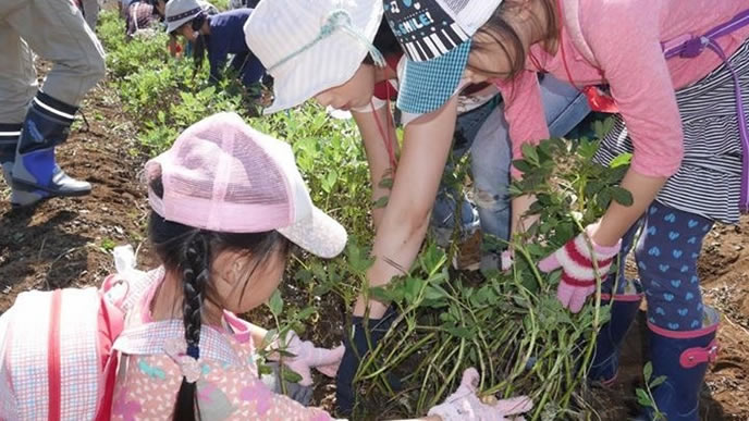 落花生収穫の授業に必死な小学生