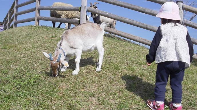 初めてヤギに出会い固まる女の子