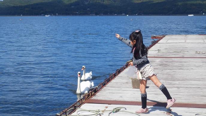 白鳥にごはんをあげる優しい女の子