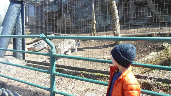 動物園のトラに興味がある子供
