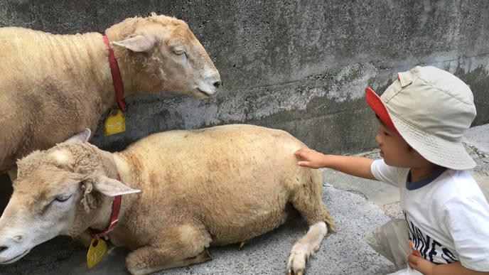 羊の様子を見ながら触る男の子