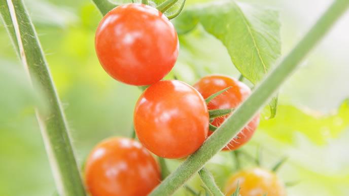 自家栽培のミニトマト