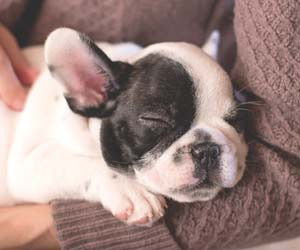 飼い主にだかれて寝ている犬