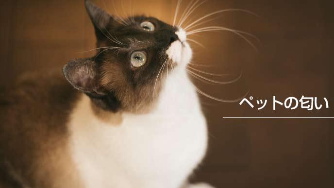 一点を見つめる飼い猫