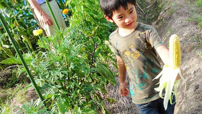 とうもろこしの収穫の手伝いをしてる男の子